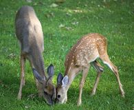 Hungry pair of whitetail bucks Stock Image