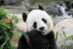 Hungry panda Stock Images