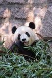 Hungry Panda Stock Image