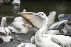 Hungry pelican Royalty Free Stock Images