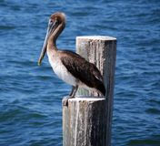 Hungry Pelican Waiting For Dinner royalty free stock photo
