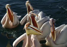 Hungry pelicans Stock Photo