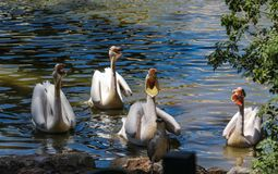 Hungry pelicans ask for fish in Israel royalty free stock photo