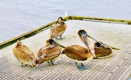 Hungry pelicans. Group of brown pelicans bunched together on the stock image