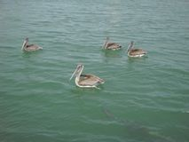 Hungry Pelicans On The Prowl royalty free stock photography