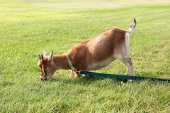 Hungry Pet Goat Pulling on Leash Royalty Free Stock Photo