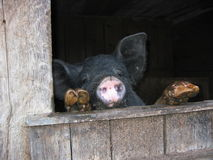 Hungry pig. Crying for food Royalty Free Stock Photography
