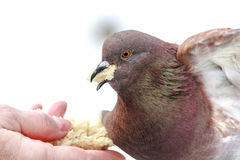 Hungry pigeon eating bread from palm Stock Photo