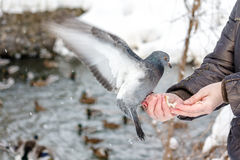 Hungry pigeon eating bread from palm Royalty Free Stock Photos