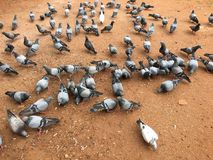 Hungry pigeon stock photography
