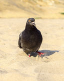 Hungry pigeon walking Royalty Free Stock Photos