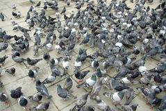 Hungry pigeons Stock Images