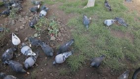 Hungry pigeons. In the city park eating food given by people during winter times stock video