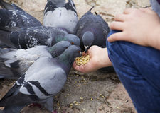 Hungry pigeons Royalty Free Stock Images