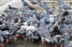 Hungry Pigeons on Gorund Royalty Free Stock Photos