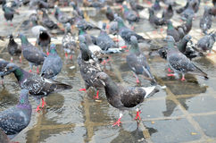 Hungry Pigeons on Gorund Royalty Free Stock Image