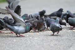 Free Hungry Pigeons On Park Alley Stock Photos - 41784473