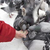 Hungry pigeons in winter Royalty Free Stock Images