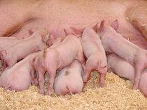 Hungry Piglets. A group of hungry piglets fighting to get their fair share of milk stock photos