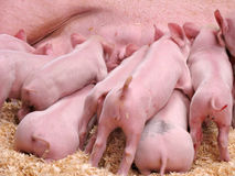 Hungry Piglets Royalty Free Stock Photography