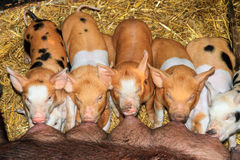 Hungry piglets Royalty Free Stock Photo