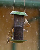 Hungry Pine Siskin Birds on A Feeder. Three Pine Siskin birds, (Carduelis pinus), backlit on a feeder in the rain royalty free stock photography