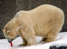 Hungry Polar Bear Royalty Free Stock Images