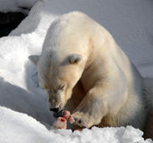 Hungry Polar Bear Royalty Free Stock Photos