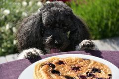 Dog tries to steal a pancake Royalty Free Stock Photo