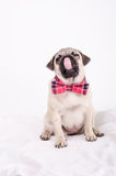 Hungry pug with a bow tie. Stock Image