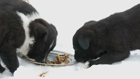 Hungry puppies eat fish heads with an iron round plate. Three cute funny little black and white puppies eat on snow in. Hungry puppies eat fish heads with an stock video