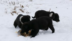 Hungry puppies eat fish heads with an iron round plate. Three cute funny little black and white puppies eat on snow in. Hungry puppies eat fish heads with an stock footage