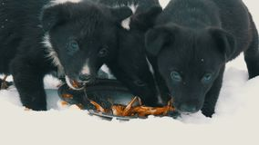 Hungry puppies eat fish heads with an iron round plate. Three cute funny little black and white puppies eat on snow in. Hungry puppies eat fish heads with an stock video footage