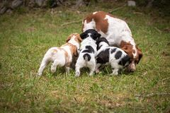 Hungry puppies running after their mother, love and affection between mother and baby children brittany spaniels dogs. Hungry puppies running after their mother stock photos