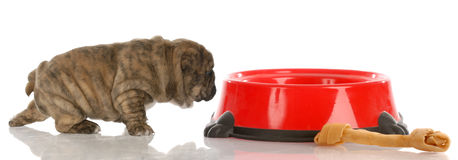Hungry puppy Royalty Free Stock Images