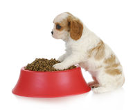 Hungry puppy Stock Photography