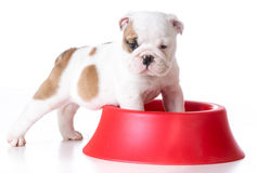Hungry puppy Stock Image