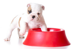 Hungry puppy Stock Photo