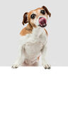 Hungry puppy licking Royalty Free Stock Images