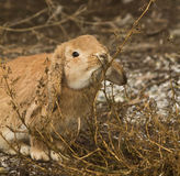 The  hungry rabbit. Red fat rabbit eating weeds Stock Photo