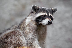Hungry raccoon Stock Photography