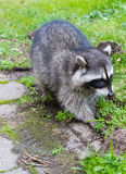 Hungry Racoon Royalty Free Stock Photo