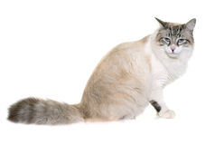 Hungry ragdoll cat. In front of white background stock images