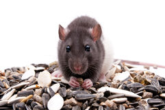 Hungry rat Royalty Free Stock Image