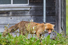 Hungry red fox vulpes vulpes standing before henhouse. Showing tongue royalty free stock image