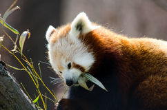 Hungry red panda Royalty Free Stock Photography