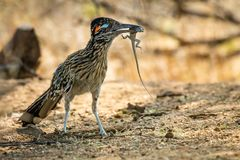 Hungry roadrunner captures a lizard. A hungry desert roadrunner captures a helpless lizard for its meal. Bad day for the lizard stock image
