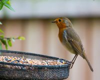 Hungry Robin. A British robin about to make the most of a huge cache of seeds Stock Images