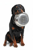 Hungry rottweiler Stock Photography