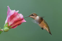Hungry Ruby-throated Hummingbird Stock Photos